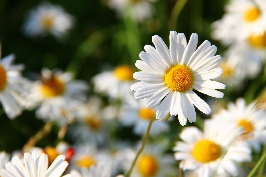 daisies, white, flower